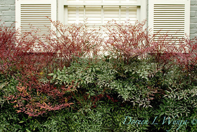 Nandina Plum Passion_003