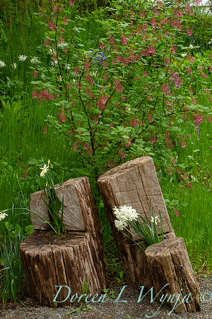 Narcissus 'Horn of Plenty' - Ribes sanguineum - tree stomp seats_036