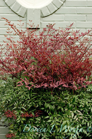 Nandina Plum Passion_004