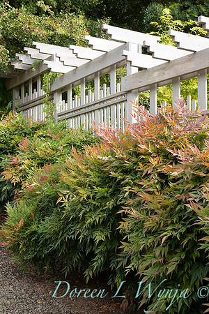 Nandina domestica 'Gulf Stream' hedge with trellis_2678M