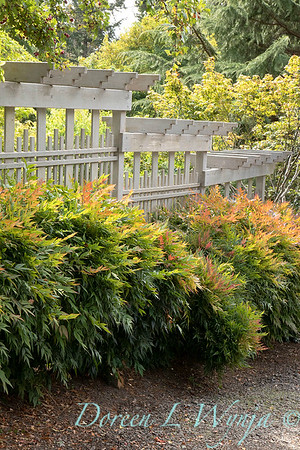 Nandina domestica 'Gulf Stream' hedge with trellis_2675