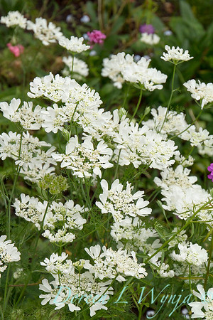 Orlaya grandiflora 'White Lace' - O  'Minoan Lace'_1202FG
