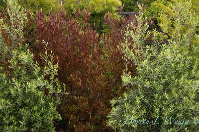 Olea europaea 'Montra' - Dodonaea viscosa 'Purpurea' hedge_1324