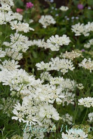 Orlaya grandiflora 'White Lace' - O  'Minoan Lace'_1196
