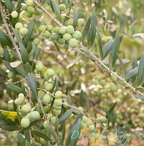 Olea europaea 'Koroneiki' olives before harvesting_2903