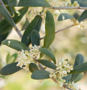 Flowering Olives_017