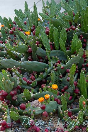 Opuntia paraguayensis_1008