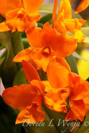 Orchid Fuchs Orange Nugget_001