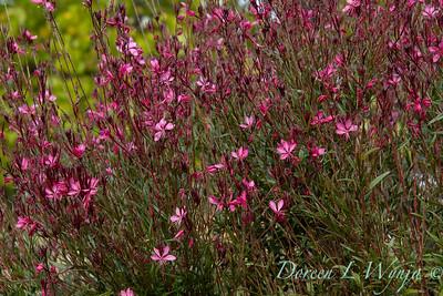 Oenothera lindheimeri Belleza Dark Pink_7471