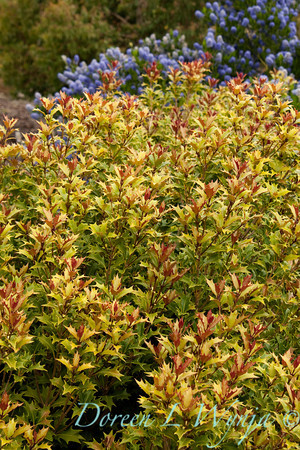 Osmanthus heterophyllus_001
