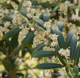 Flowering Olives_011