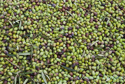 Olives waiting to be pressed_005