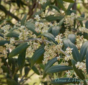 Flowering Olives_009