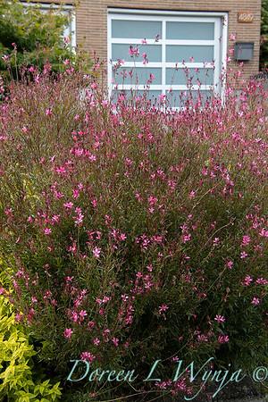 Oenothera lindheimeri Belleza Dark Pink_7466