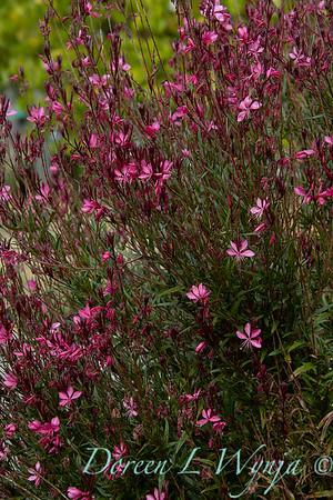 Oenothera lindheimeri Belleza Dark Pink_7470