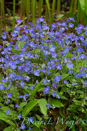 Omphalodes cappadocica Cherry Ingram_006