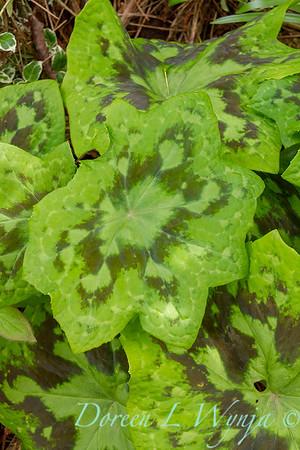 Podophyllum Kaleidoscope_012