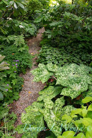 Podophyllum Kaleidoscope - Woodland garden_2082