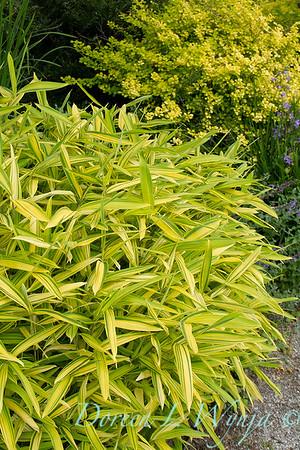 Pleioblastus viridistriatus bamboo_1567