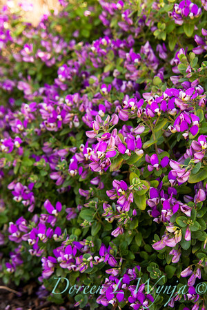Polygala myrtifolia Grandiflora_002