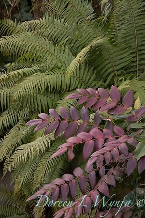 Polystichum munitum - Mahonia nervosa plant combo_1264