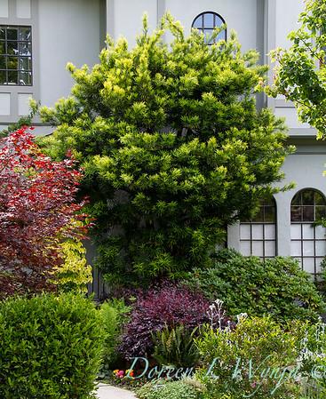 Podocarpus macrophyllus_955