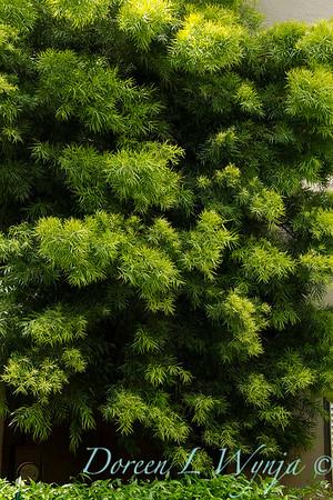 Podocarpus macrophyllus_6839
