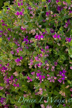 Polygala fruticosa 'Petite Butterflies'_2256