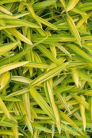 Pleioblastus viridistriatus bamboo_1564