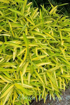 Pleioblastus viridistriatus bamboo_1558