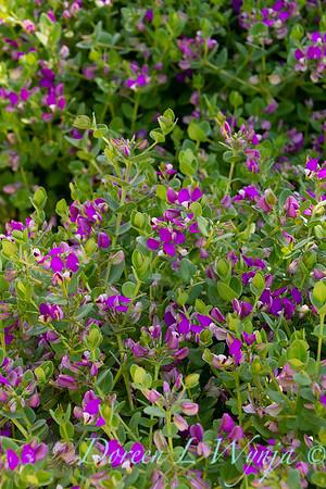 Polygala fruticosa 'Petite Butterflies'_2259