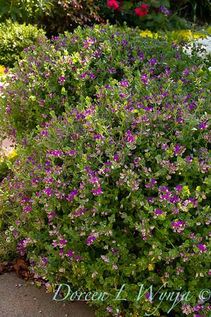 Polygala fruticosa 'Petite Butterflies'_2254