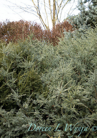 Podocarpus lawrencei 'Blue Treasure'_0548