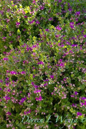 Polygala fruticosa 'Petite Butterflies'_2255