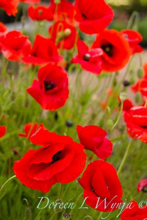 Papaver somniferum poppies_043