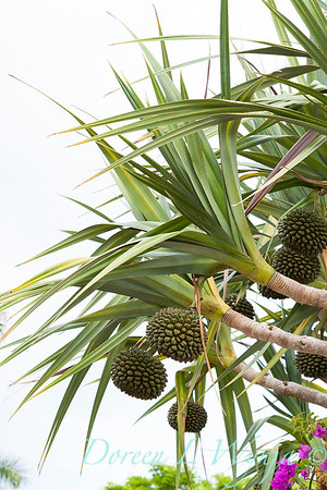 Pandanus with seed heads_7574