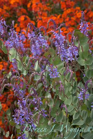 Parahebe perfoliata - purple_0597