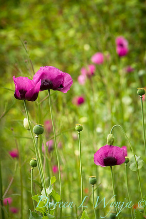 Papaver somniferum 'Dark Plum' patch_7130