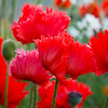 Papaver orientale Flamenco Dancer_016_Doreen Wynja