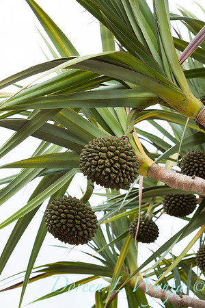 Pandanus with seed heads_7576