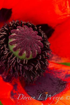 Papaver somniferum red poppy_026