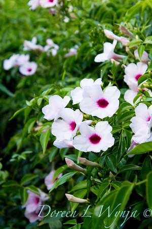 Pandorea jasminoides Rosea_015