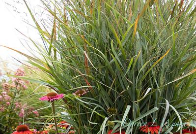 Panicum virgatum 'Northwind' - Echinacea  barrel container_2185