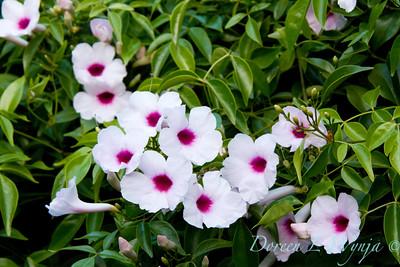 Pandorea jasminoides Rosea_014