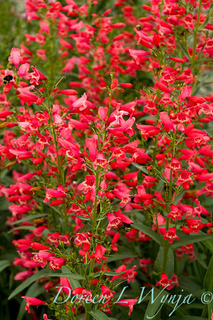 9474 Penstemon Red Riding Hood_005