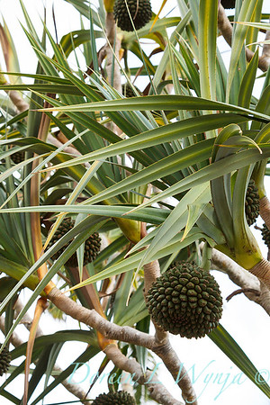 Pandanus with seed heads_7581
