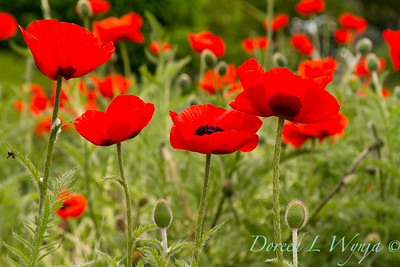 Papaver somniferum red poppy_020