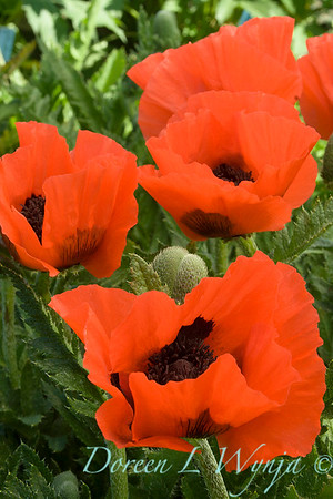 Papaver orientale 'Castagnette' orange_1019