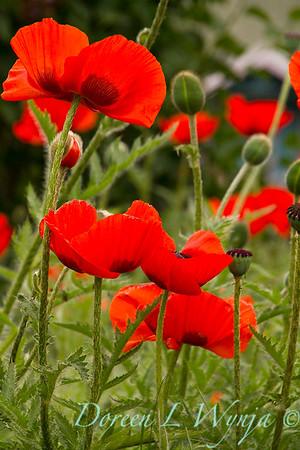 Papaver somniferum red poppy_032