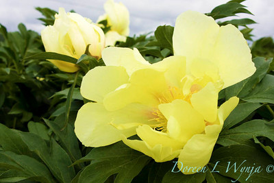 3911 Paeonia Going Bananas_004